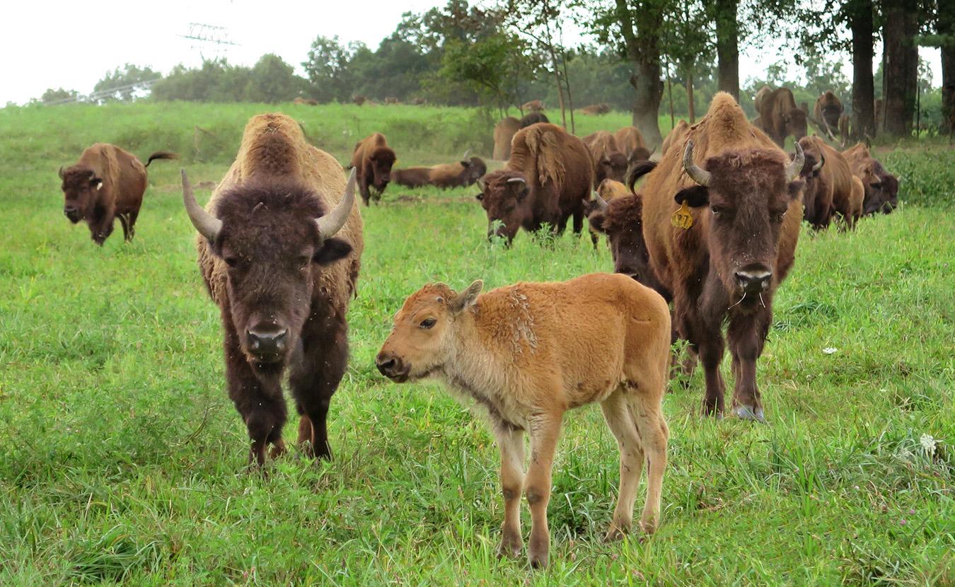 Red Frazier bison graze in the summer heat. Photo by Ron Eid