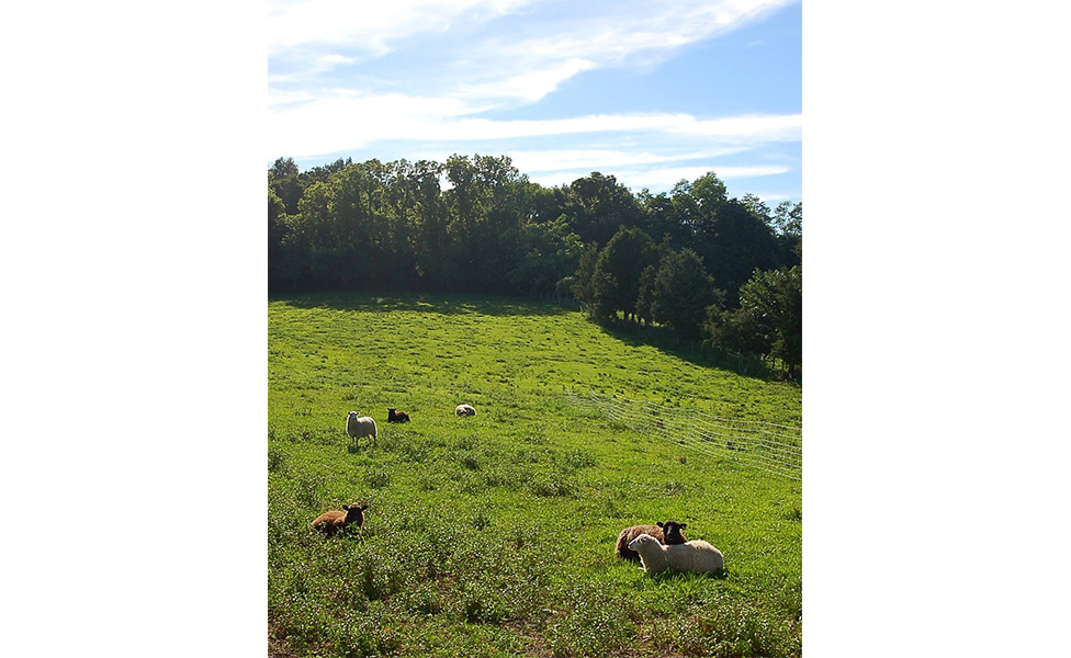 The sheep lounge in one of Marble Hill Farm's lush fields. This view is taken from the farm's newly built sheep deck, which will be the site of workshops and craft nights. | Photo by Lindsay Welsch