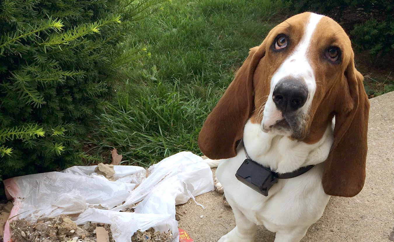 This photo of Norman, a 2-year-old male Bassett Hound, was posted on the Lost and Found Pets Facebook group wall after he went missing on Bloomington's west side in late August. | Courtesy photo