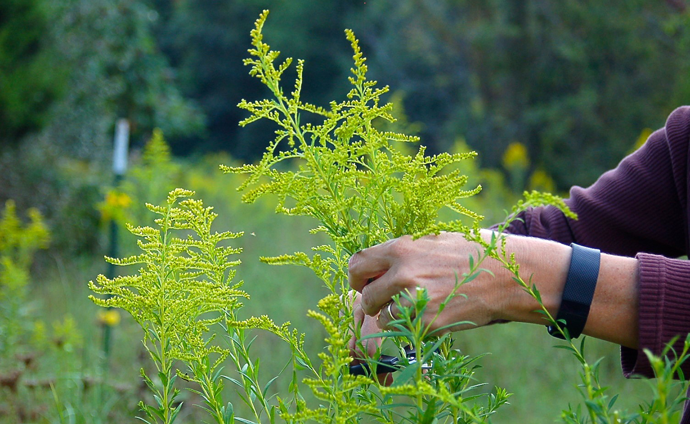 Whitney snips goldenrod from a field behind her house. On this day, we gather bucket- and basket-loads of this abundant plant to supply the necessary 10:1 ratio for dyeing fiber with goldenrod. (Some dyes require far less plant weight. For instance, onion skins, which are already dried and contain natural tannins, only require a 1:1 solution — equal parts plant and fiber by weight.) | Photo by Samuel Welsch Sveen