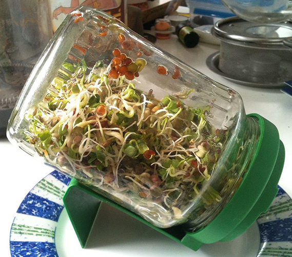 Brackney says growing sprouts in a jar is one of the quickest routes to fresh food. | Photo by User:tlcoles - Own work. Licensed under CC BY-SA 3.0 via Wikimedia Commons