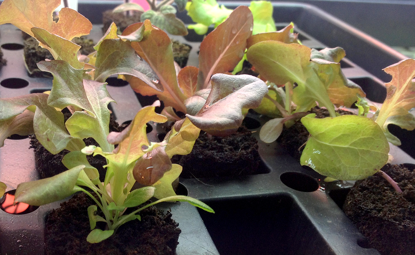 Susan M. Brackney says mixed greens (shown above), sprouts, microshoots, and vegetables grown indoors pack a nutritional punch you're unlikely to get from the grocery store. | Photo by Susan M. Brackney