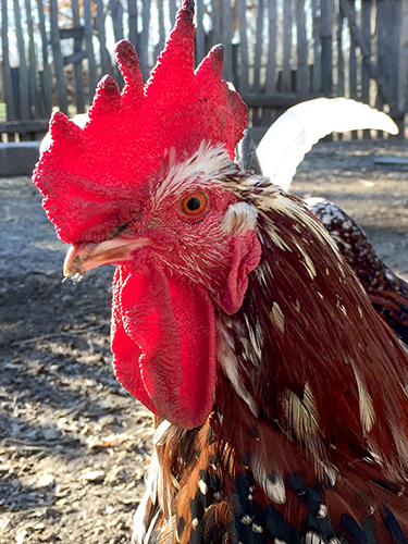"""Our relationship with chickens is """"an epic tale of success and survival."""" 