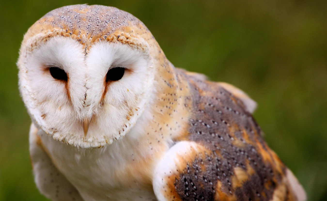 All sorts of state endangered animals have been spotted in Monroe County, including the barn owl. | Creative Commons, Tim Felce