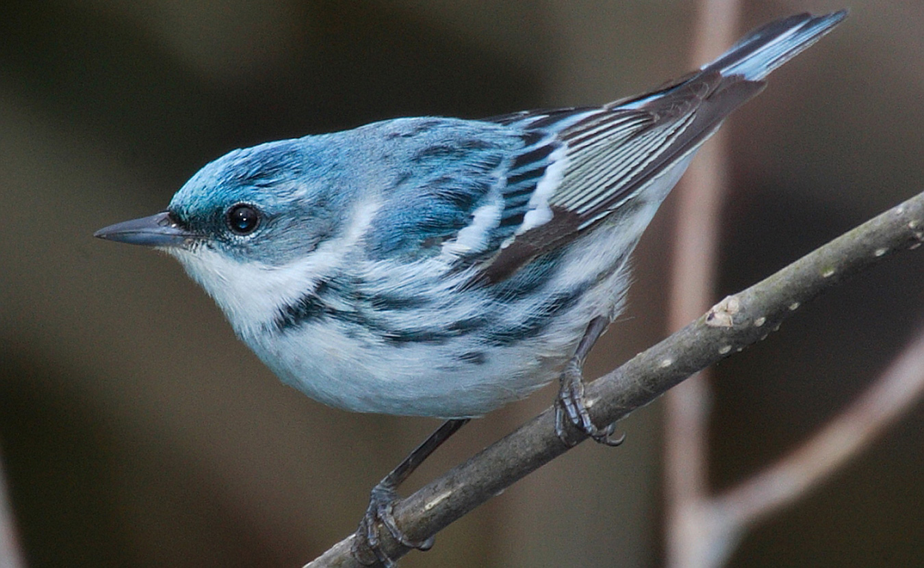 "If you are lucky, you may be able to spot the cerulean warbler, a small songbird on Indiana's ""endangered"" list. 