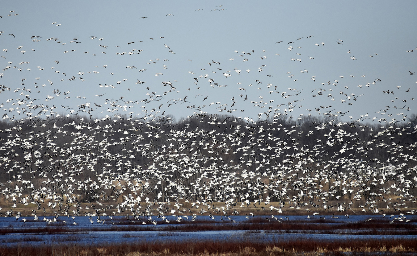 Snow geese also flock to the Goose Pond area by the thousands this time of year. | Photo by Martha Fox
