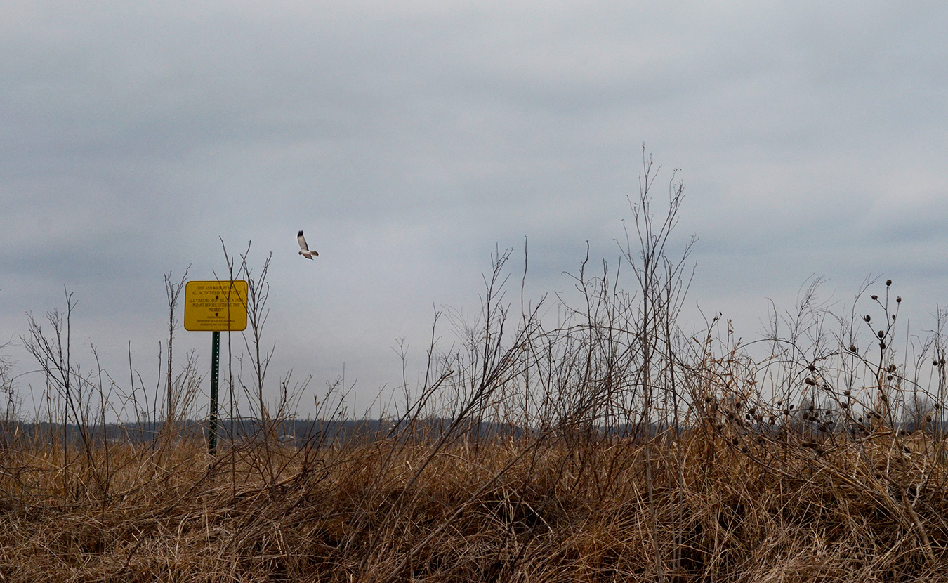 A male northern harrier hunts for prey above a field at Goose Pond. | Photo by Lynae Sowinski