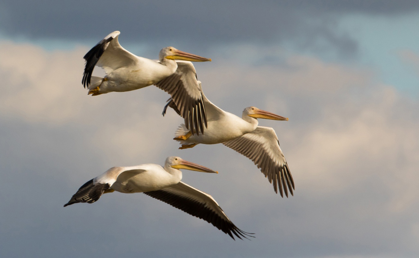 American white pelicans, with their distinctive long, yellow bills and large throat pouches, migrate through Indiana each year. | Photo by Andre Graindorge