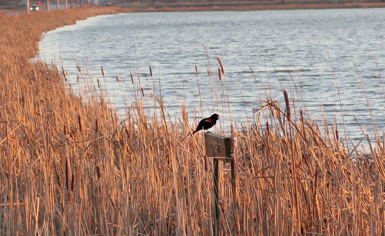 Red-winged blackbirds are one of the more familiar sights at Goose Pond, seen along roadsides, telephone wires, and especially the reedy edge of the pond itself. | Limestone Post