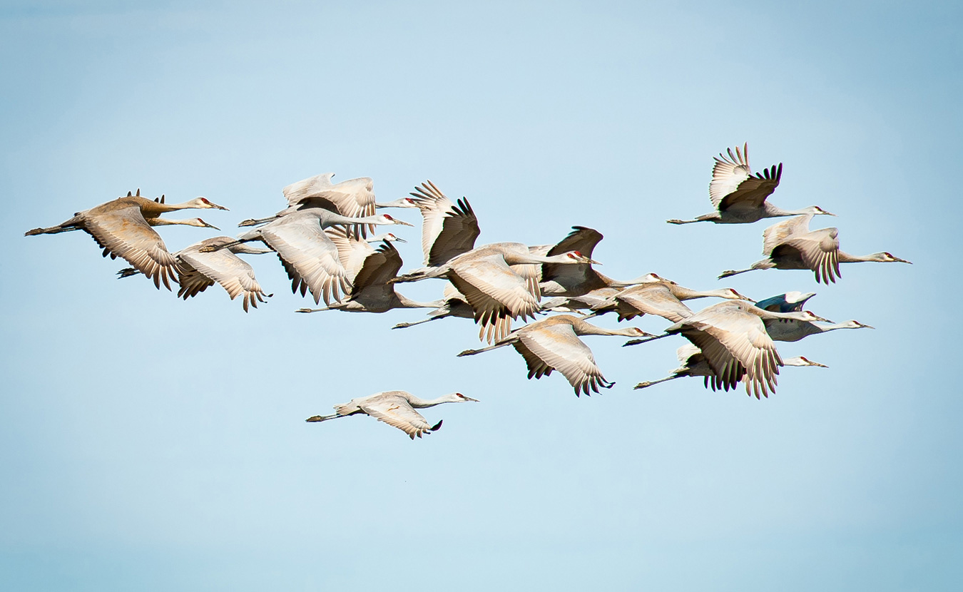 While sandhill cranes often form flocks in the tens of thousands, they can also be seen flying in small groups. | Photo by Thomas Marriage