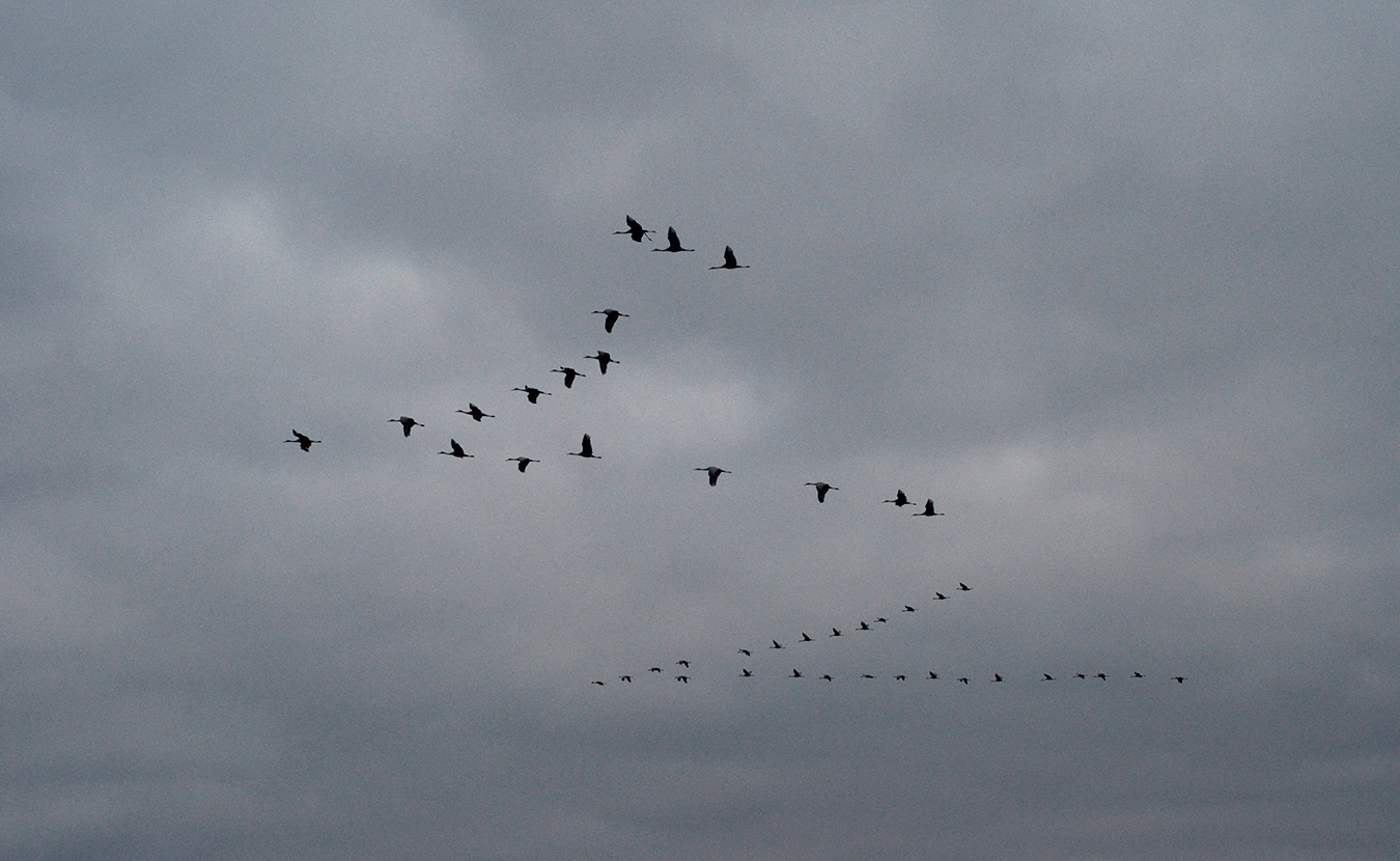 Sandhill cranes flying home to roost at Goose Pond after spending the day feeding in the surrounding fields. | Photo by Lynae Sowinski