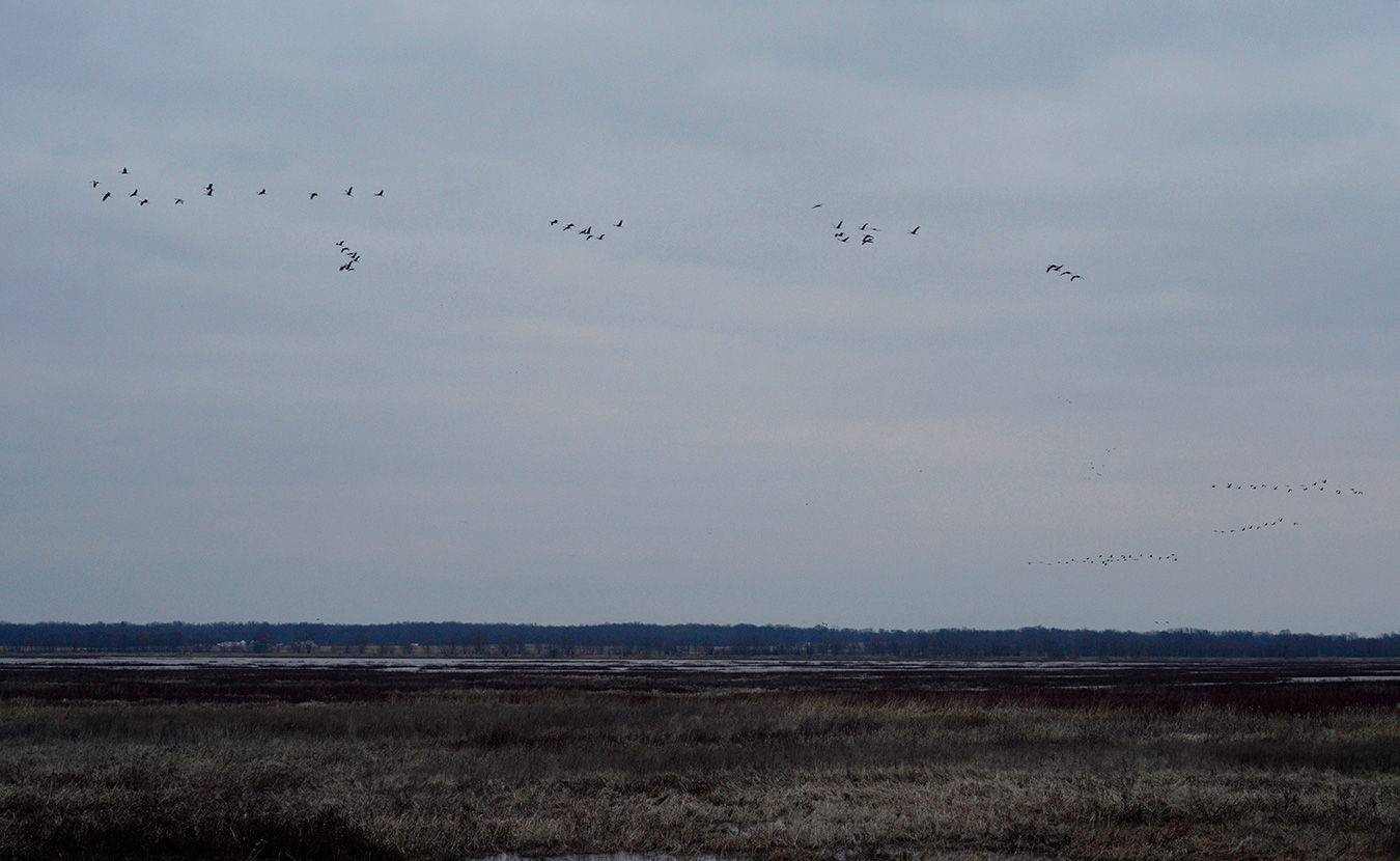 Nine or ten separate flocks of sandhill cranes, resembling airplanes in their final landing approach, fly toward Goose Pond at dusk, where they will rest for the night. | Photo by Lynae Sowinski