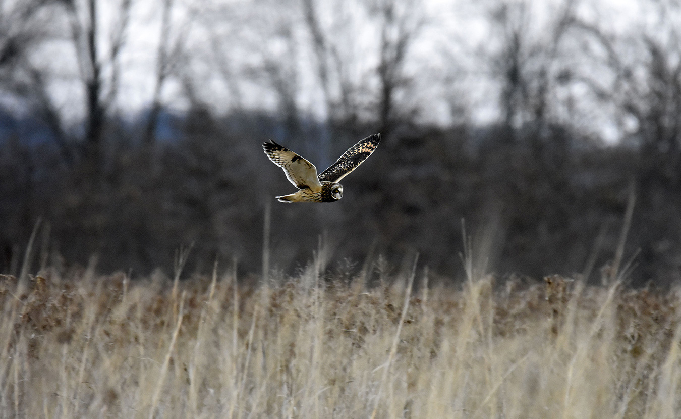 "Short-eared owls can be spotted at dusk as they hunt for small rodents in the fields. The endangered bird can be difficult to recognize — look for their flat faces and listen for their ""chatter."" 