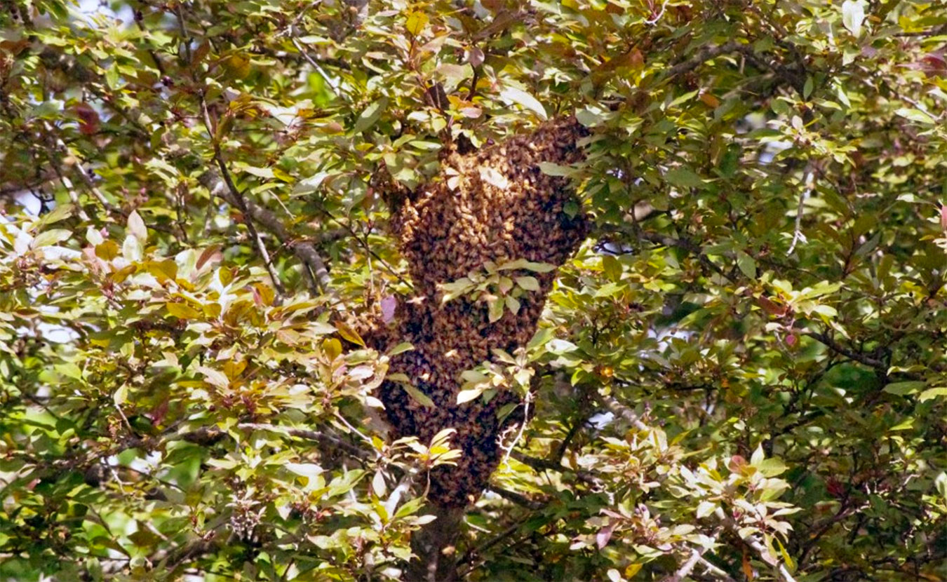 This swarm landed in a tree in Kara Krothe's backyard on a Wednesday evening in June 2016. Come Friday morning, the bees had flown off to try to find a more permanent home.   Photo courtesy of Kara Krothe and Earth Eats