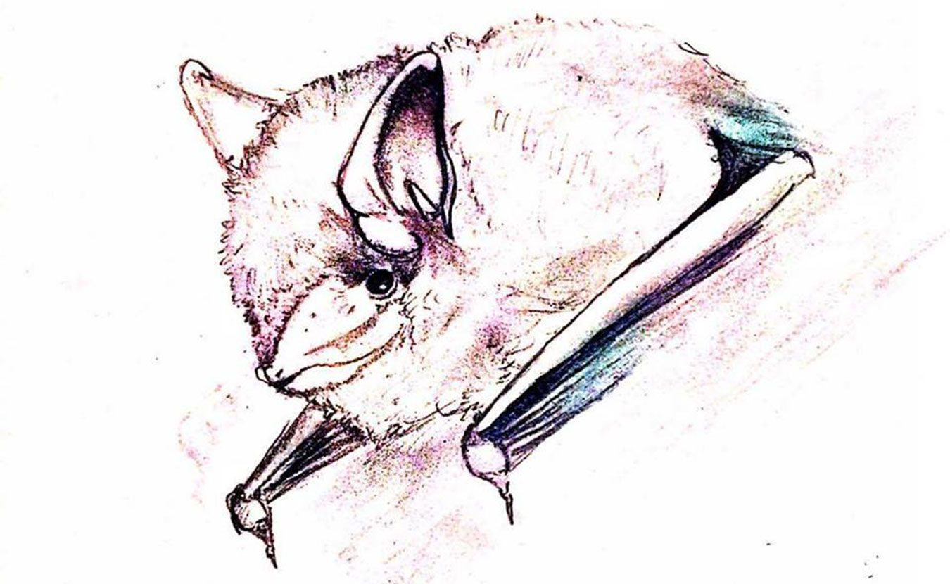 A tricolored bat is one of ten species of bats found in Indiana. Southern Indiana has some of the country's largest roosting places for Indiana bats. But these Hoosier mammals face many threats to their survival. | Illustration by April McKay