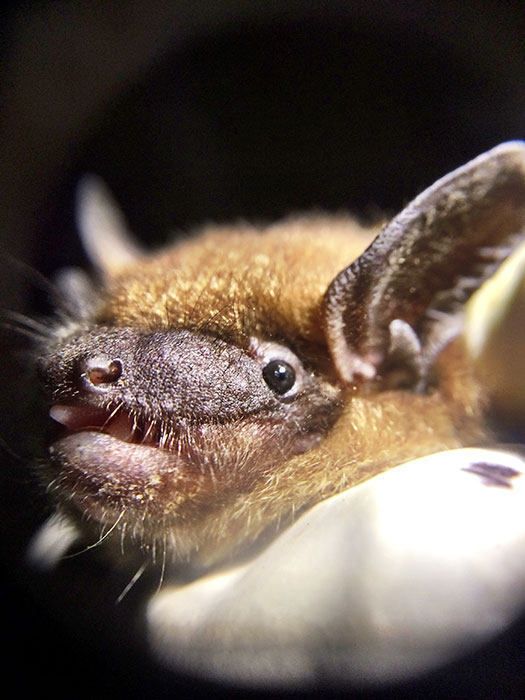 Most people don't see bats, such as this big brown bat, up close. | Photo by April McKay