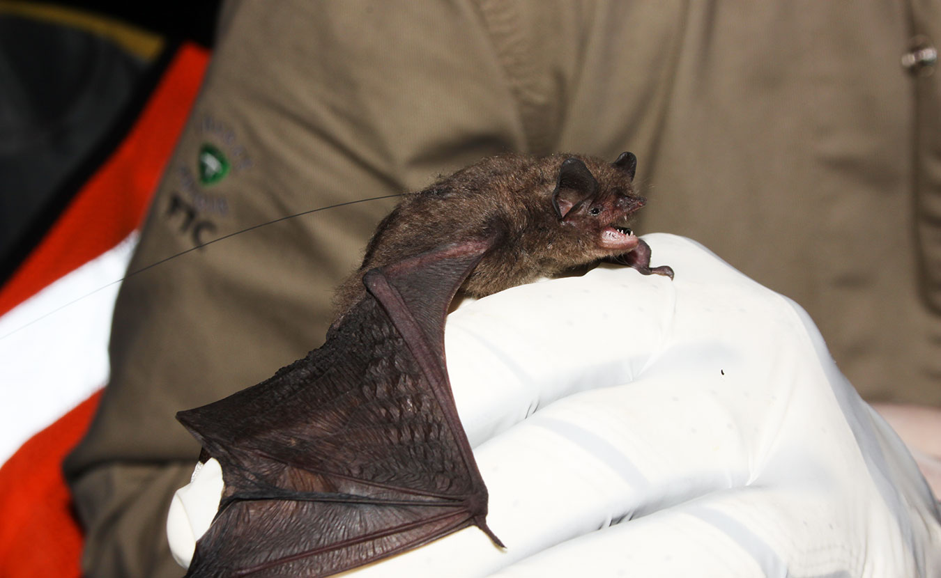 April McKay holds an Indiana bat, whose in-state population has dropped 27 percent since 2011. | Photo by Travis Brown