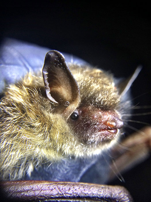 The little brown bat's Indiana population has dropped 90 percent since 2011. | Photo by April McKay