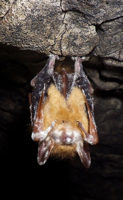 One major threat to bats is an invasive white fungus that thrives in cave environments and grows on the face and wing membranes of bats, causing White Nose Syndrome. | Photo by Price Sewell