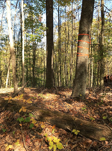 The orange tape on this tree on Bartley Ridge indicates the beginning of a new area to be logged. | Photo by Cathy Greene