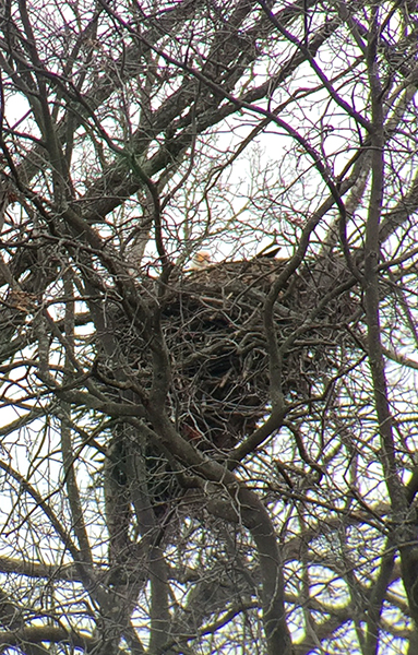 In late January, folks can participate in Eagles Over Monroe, an annual event celebrating the majestic birds of Lake Monroe.   Limestone Post