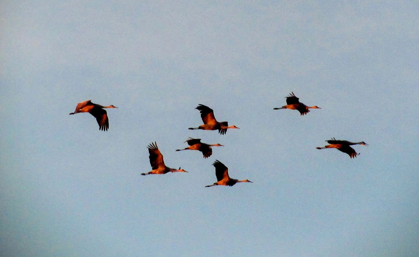 Every spring and fall, Indiana is at the heart of the eastern sandhill crane migration. Witness it once and you'll mark their return on your calendar every year, writes LP contributor Jared Posey. | Photo by Katie Posey