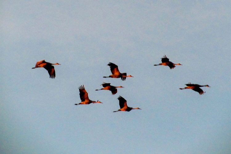 Every spring and fall, Indiana is at the heart of the eastern sandhill crane migration. Witness it once and you'll mark their return on your calendar every year, writes LP contributor Jared Posey.   Photo by Katie Posey