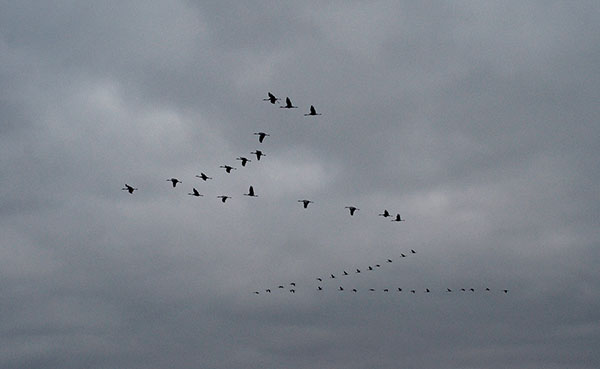 "Sandhill cranes fly in ""V"" formations as they come to roost for the evening at Goose Pond. 