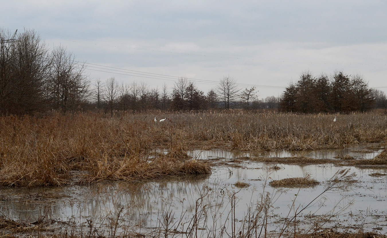 Whooping cranes were on the brink of extinction in the 1940s, and only about 600 are alive today. These three were spotted in the wetlands at Goose Pond in February 2016. | Photo by Lynae Sowinski
