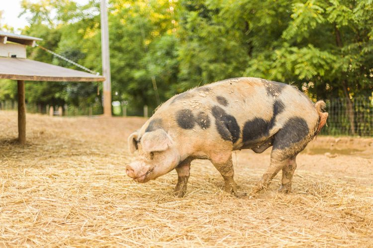 "Some Hoosier farmers raise millions of animals that spend much of their lives in confinement — their sole existence in these ""Confined Feeding Operations"" is to get plump enough for market. But some of these animals, such as the pig pictured here, are rescued and find their way to Uplands PEAK, a farm animal sanctuary. 