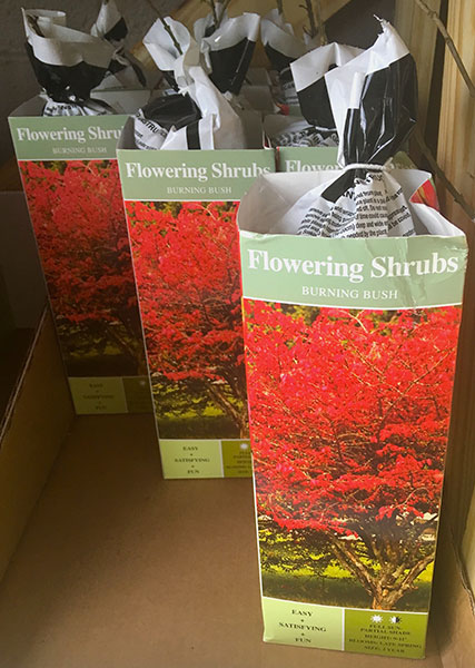 Burning bushes for sale at a local big box retailer. | Photo by Susan Brackney