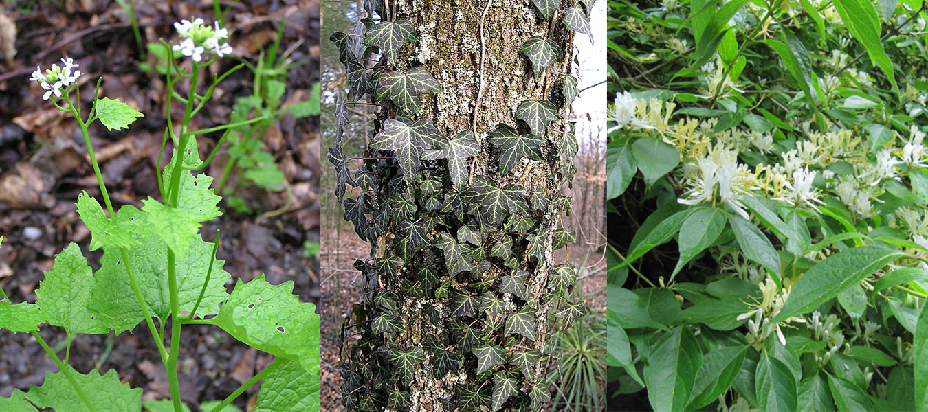 (l-r) Garlic mustard, courtesy photo | English ivy, photo by Jay Sturner | Asian bush honeysuckle, photo by Leonora Enking. | All photos via Wikimedia Commons