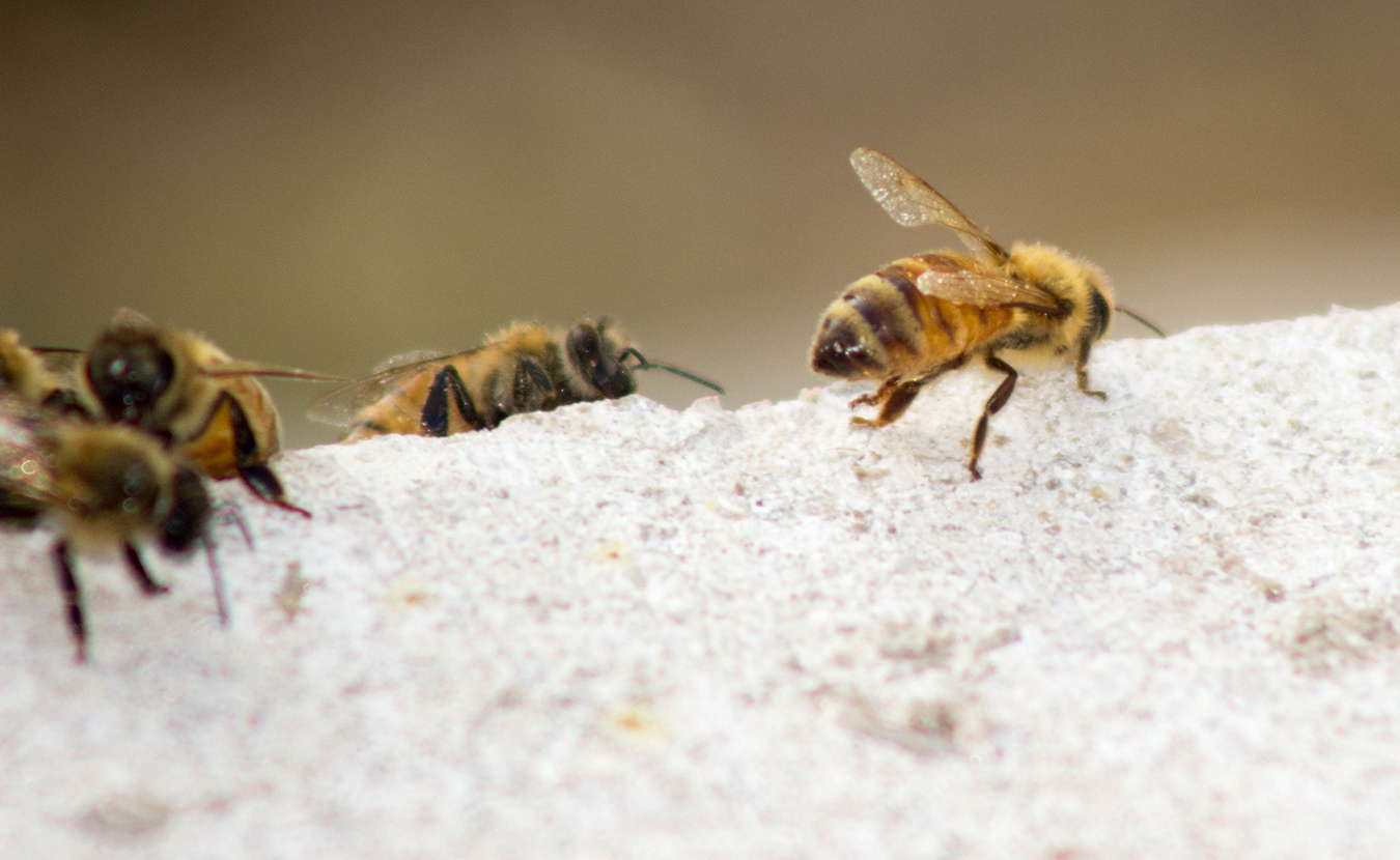 Hollinden's bees will explore an area in a three-mile radius from their hive. | Photo by Marla Bitzer