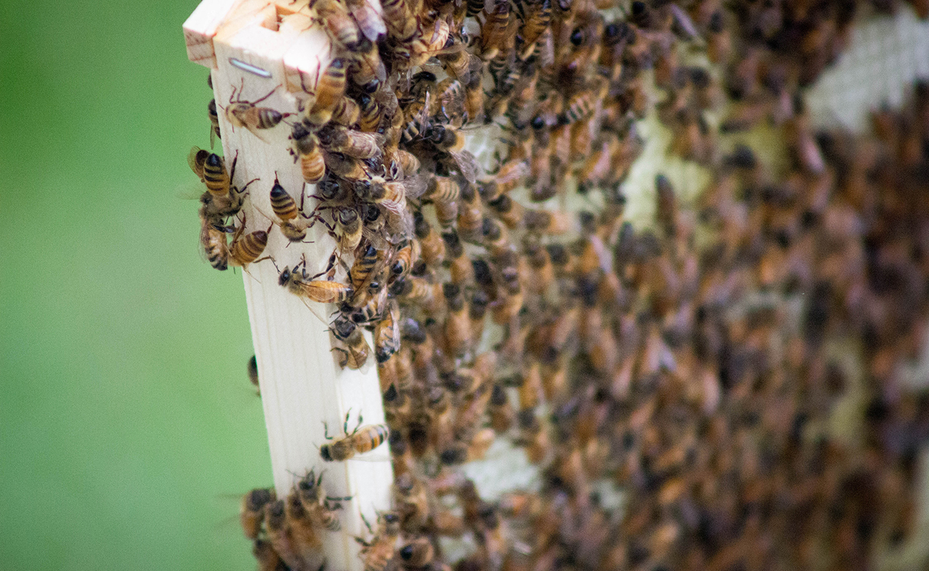 The plight of bees could also be the plight of the human race. When writer Erin Hollinden decided to start her own beehive, and save the world, she found plenty of support from a community of experts and other beekeepers. Here, Hollinden's bees cover one of the frames lifted from the hive. | Photo by Marla Bitzer
