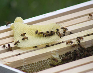 One week after the colony was moved to the new hive, the bees had already made honeycomb. | Photo by Marla Bitzer