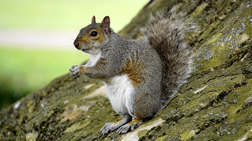 "Marion County's Calvin Fletcher wrote in his diary in 1822 that squirrels swarmed ""in several places in almost countless numbers."" 