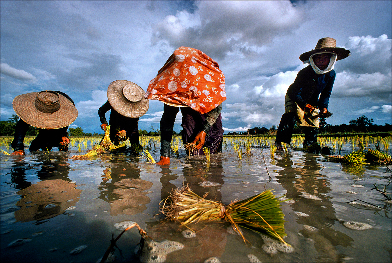 Transplanting rice seedlings is backbreaking work for Thai farmers, who in 2016–17 produced an estimated eighteen million metric tons of long-grain Jasmine rice. The world's largest producer of rice, Thailand harvests two crops a year in the wet and dry seasons. | © Steve Raymer / National Geographic Creative