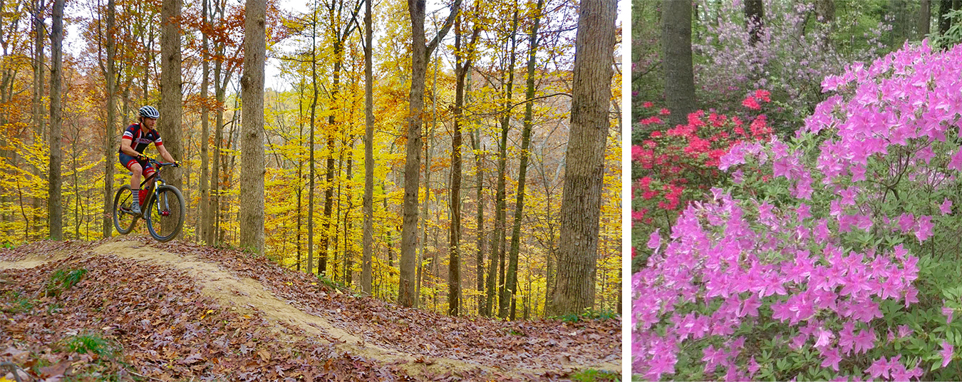 (left) While the city's biking infrastructure leaves much to be desired, Bloomington has plenty more to back its claim as the Biking Capital of the Midwest, argues writer and avid biker Sean Starowitz. Pictured here, biker Jesse Smith rides on Hobbs Hollow Flow Trail in Brown County State Park. | Photo by Devin O'Leary (right) Bev Knight's collection of more than 400 varieties of azaleas at her family's Azalea Path Botanical Garden and Arboretum is known nationwide for its woodland flowers (among other plants). | Image by Duane Busick