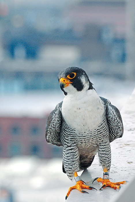 "Peregrine falcons in America have soared back from the brink of extinction since the 1960s, even in Indiana. Just as humans caused their decline, ""it was also dedicated humans who brought these birds back,"" writes Jared Posey. This ""standout conservation success story"" is unusual because peregrines ""may be benefiting from an increasingly urban landscape."" Kinney, pictured here, made his home in downtown Indianapolis, before dying in 2012. <a href=""http://www.in.gov/activecalendar_dnr/EventList.aspx?view=EventDetails&amp;eventidn=6178&amp;information_id=12437&amp;type=&amp;syndicate=syndicate"" target=""_blank"" rel=""noopener"">Indiana Department of Natural Resources</a> said, ""Kinney died after striking Market Tower, where he had nested with [his mate] KathyQ for 10 years. At 19 years old, Kinney was believed to be the oldest and most productive peregrine in the Midwest, having fathered a combined 61 young with KathyQ and a previous female."" 