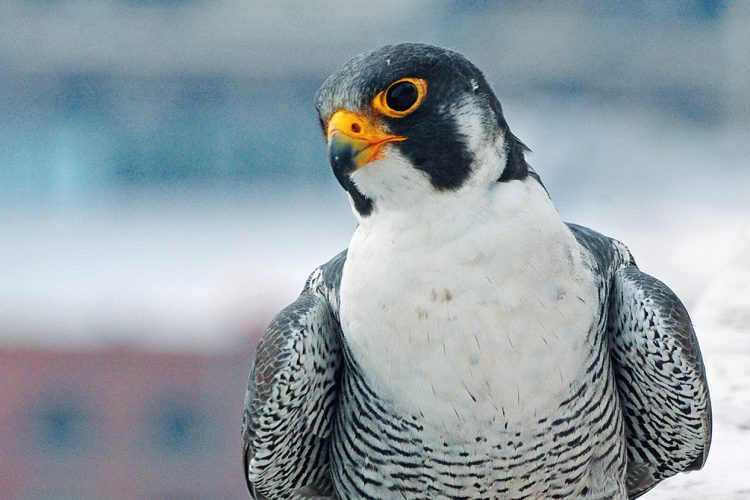 "Peregrine Falcons in America have soared back from the brink of extinction since the 1960s, even in Indiana. Just as humans caused their decline, ""it was also dedicated humans who brought these birds back,"" writes Jared Posey. This ""standout conservation success story"" is unusual because peregrines ""may be benefiting from an increasingly urban landscape,"" such as Kinney, pictured here in Indianapolis. 