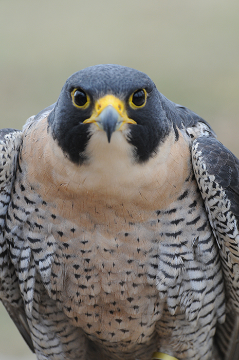 While peregrine falcons do very well in urban settings, some still live in nature, such as this one at Hardy Lake, near Scottsburg in southern Indiana. | Photo courtesy of Indiana Department of Natural Resources