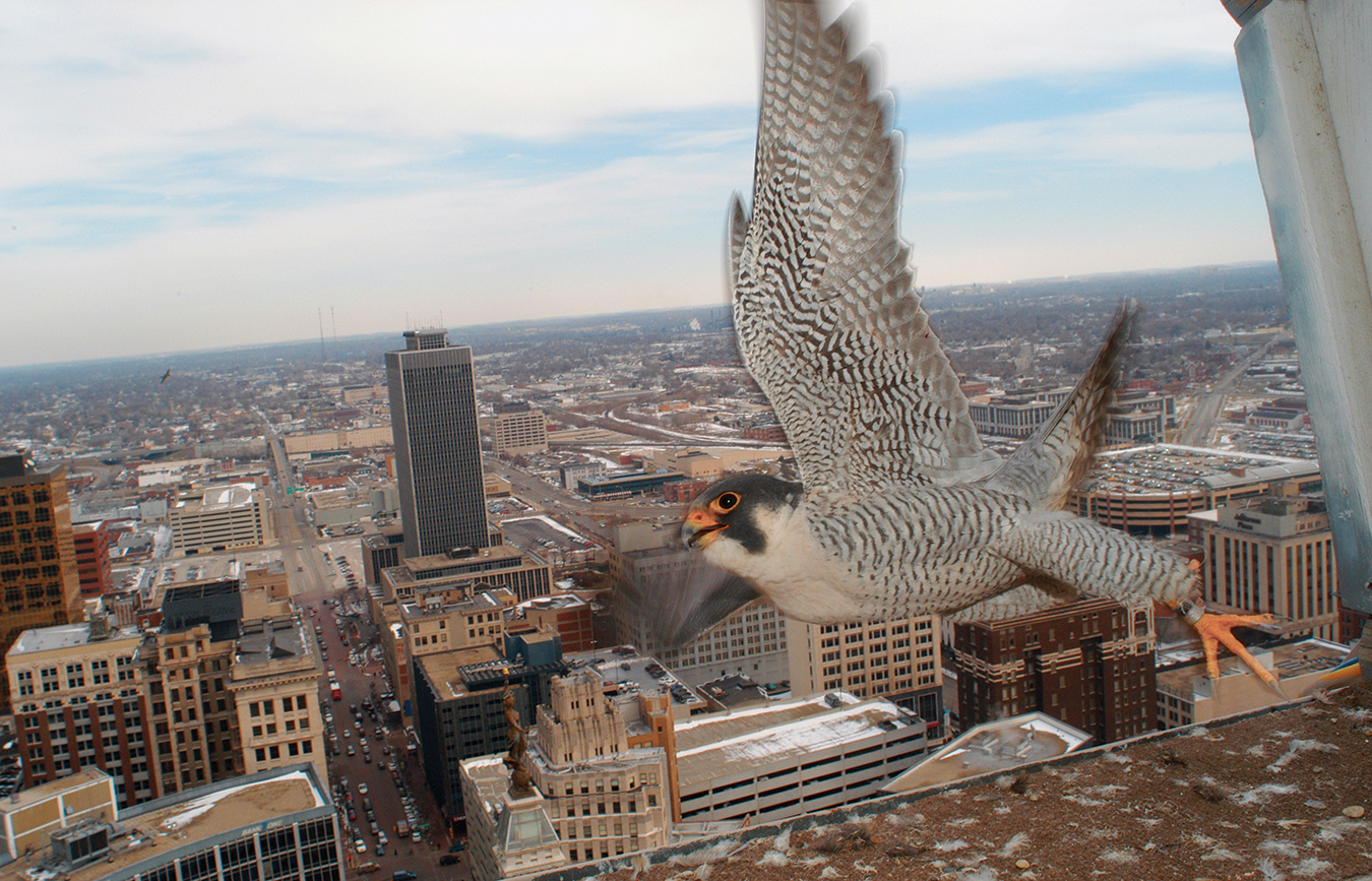 "Kinney, who was Indiana's oldest peregrine when he died in 2012, flies from his nest box at Market Tower in Indianapolis. His mate, KathyQ, and her new partner Will continued to live in the nest box — even wintering there. Since then, <a href=""https://www.indystar.com/story/life/falcon-blog/2018/04/01/downtown-indianapolis-falcons-welcome-first-egg/476749002/"" target=""_blank"" rel=""noopener"">according to James-Reim</a> last April, the box is occupied by Sesenta, who was born in the box and son of Kinney and KathyQ. His partner ""is unbanded and most likely the same female who defeated KathyQ last year for control of the site."" 