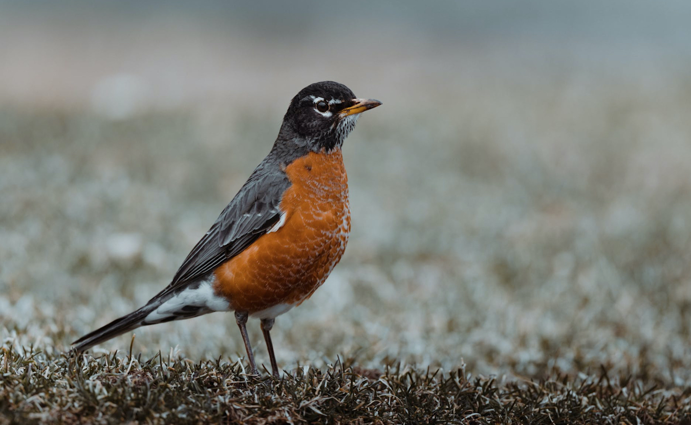 Research by Alex Jahn at Indiana University has focused on the rarely studied American robin. For Jahn, birds are sentinels because they can predict what is happening to our ecosystem. Jahn and other researchers around the world use technology such as satellite telemetry to understand how migration affects the lives of birds. With a reported 30 percent of bird species lost since the 1970s, writes Rebecca Hill, the information gathered is more important than ever. | Photo by Skyler Ewing