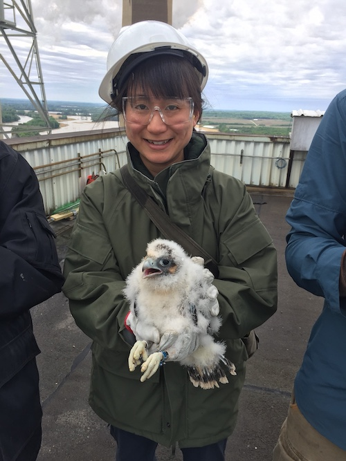 Allisyn-Marie Gillet, an ornithologist with the Indiana Department of Natural Resources, holds a recently banded peregrine falcon chick. 'The installation of the [Motus] towers is important because they are a function of researchers doing work on migratory species like birds and bats,' Gillet says. | Photo by the Indiana Department of Natural Resources